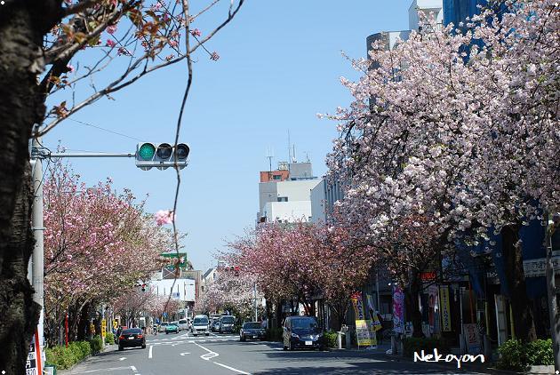 blog09sakura1.JPG