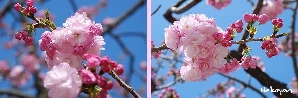 blog09sakura10.JPG
