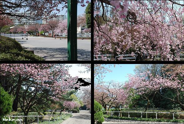 blog09sakura12.JPG