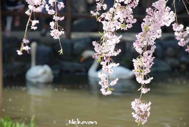 blog09sakura13.JPG