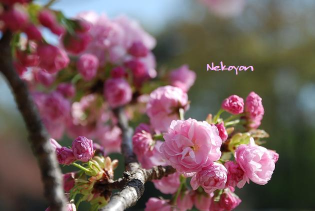 blog09sakura18.JPG