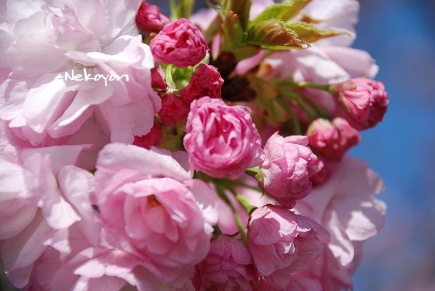 blog09sakura21.JPG