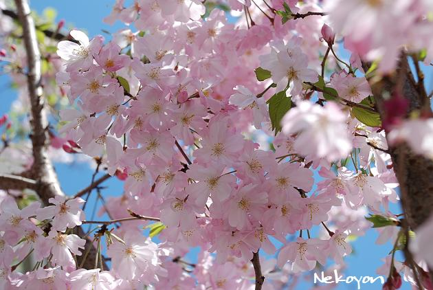 blog09sakura4.JPG