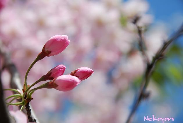 blog09sakura5.JPG