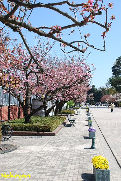 blog09sakura7.JPG