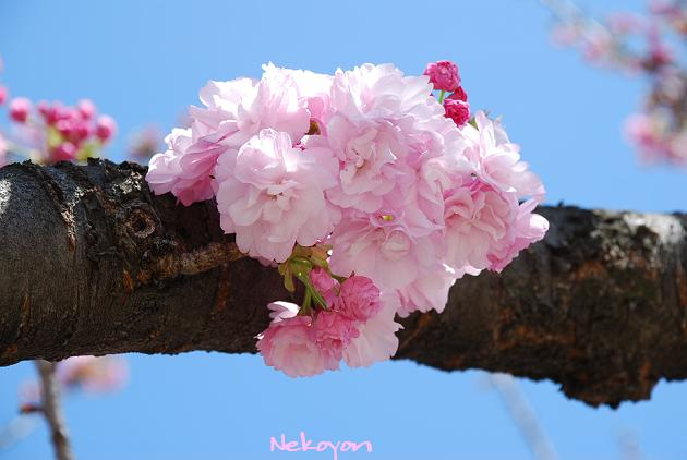 blog09sakura9.JPG