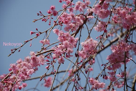 blogsakura10-11.jpg