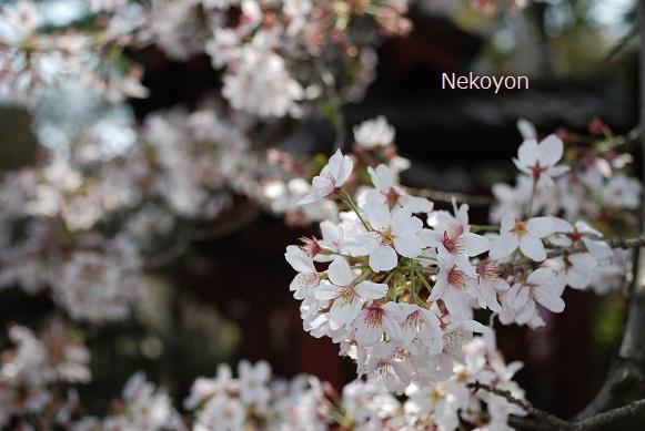 blogsakura10-17.jpg