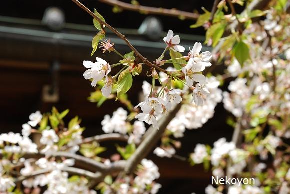 blogsakura10-6.jpg