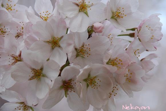 blogsakura11.jpg