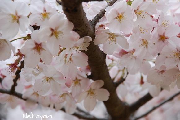 blogsakura12.jpg
