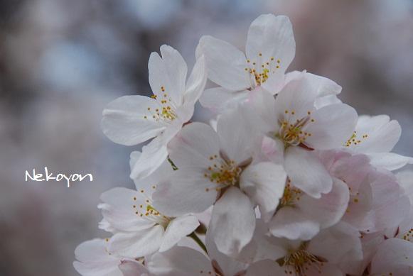 blogsakura13.jpg