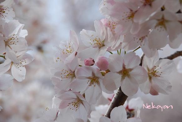 blogsakura14.jpg