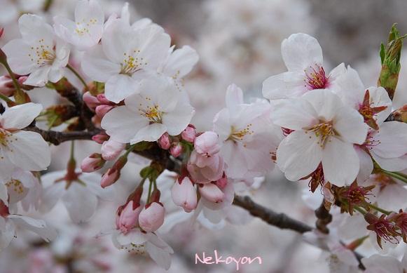blogsakura16.jpg
