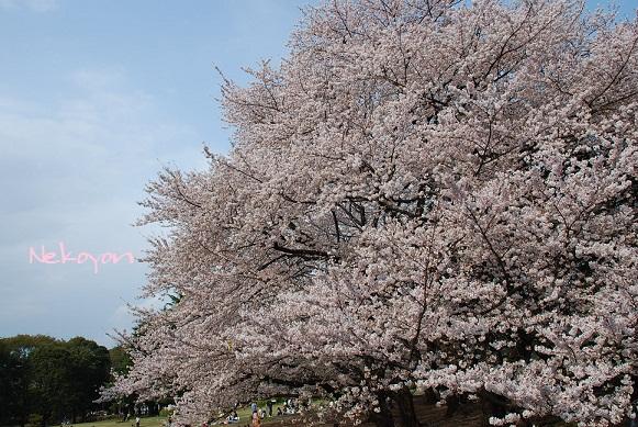 blogsakura18.jpg