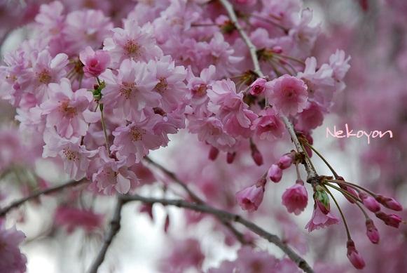 blogsakura2.jpg