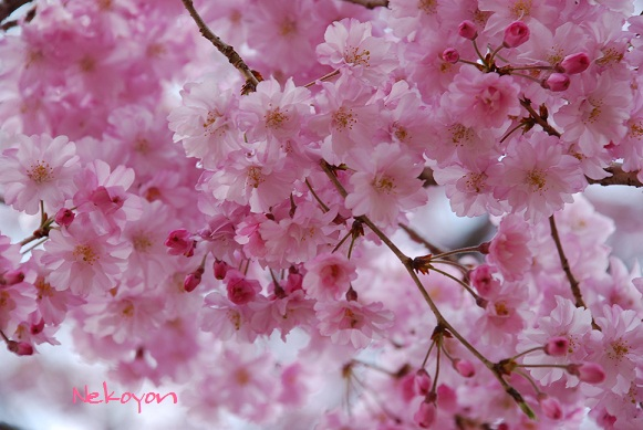 blogsakura3.jpg