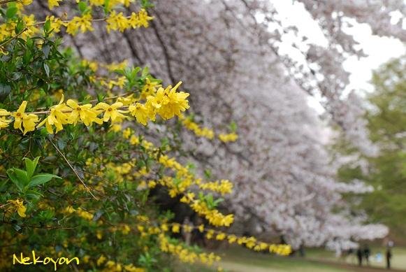 blogsakura6.jpg