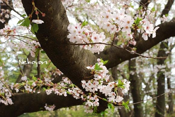 blogsakura8.jpg
