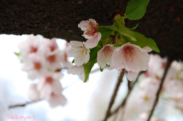 blogsakura9.png