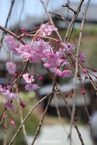 blogsakura10-12.jpg