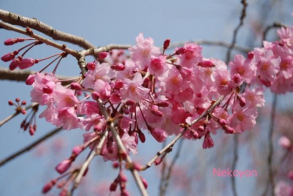 blogsakura10-13.jpg