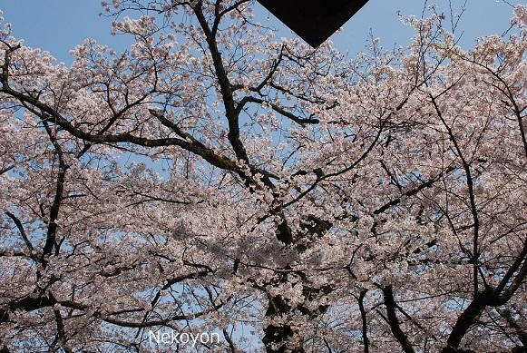 blogsakura10-2.jpg